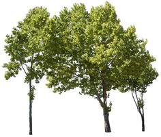 4634 x 3926 PNG image, transparent backgroud. Included in 18 trees group Pack Landscape Architecture, Landscape Design, Garden Design, Tree Psd, Tree Cut Out, Tree Photoshop, Plane Tree, Image Resources, Garden Illustration