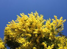 """Yellow sprays of mimosa flashed along the ridges...."""