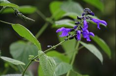 Our bees are dying at alarming rates, so plant pesticide-free gardens with flowers bees love.  Salvia, which is drought-tolerant, attracts butterflies and hummingbirds, as well as bees. There are dozens of varieties to choose among; Salvia x sylvestris 'May Night' is one of the few that can survive in colder climates