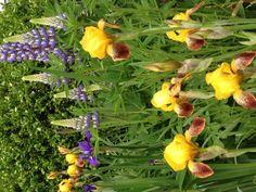 Yellow two toned iris with Lupine & Boxwood