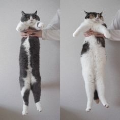@Kristy Obidzienski-Gough. Joey would so win ;)   2013 Long Cat Contest: First Candidates