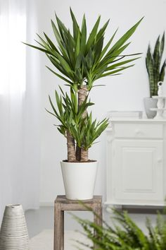 Areca palm tree for adding moisture in the air during dry for Plante yuka ikea