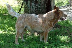 Australian Cattle Dog 06