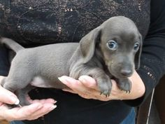 Blue dachshund puppies...say what?! I had no idea doxies came in this color...now I have to have one!