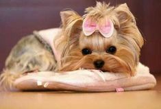 Yorkies, Puppies And Kitties, Yorkie Puppy, New Puppy, Cute Puppies, Cute Dogs, Kittens, Cats, Perros Yorkshire Terrier