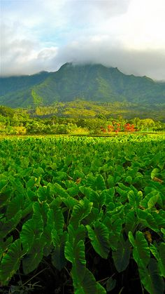 Kauai, Hawaii since Im from a small island, I was amazed to see their HUGE taro plantations Aloha Hawaii, Hawaii Vacation, Hawaii Travel, Hawaii Life, Beautiful Islands, Beautiful Places, Places To Travel, Places To See, Voyage Hawaii