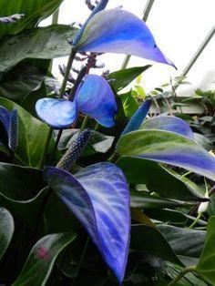 Anturium Anthurium 'Princess Alexia Blue' at Tropical Extravaganza Kew Gardens, London Unusual Plants, Exotic Plants, Cool Plants, Tropical Plants, Tropical Flowers, Tropical Gardens, Blue Plants, Rare Flowers, Exotic Flowers