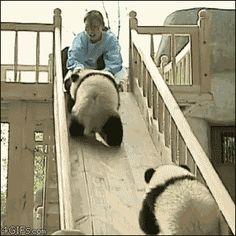 【悲報】パンダの性欲、人の歯の根管治療に対する意欲と同程度と判明