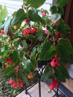 Begonias in bloom