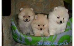 İTHAL POMERANİAN BOO DOG YAVRULARI 0534.467.69.79 - Satılık Köpek, Yavru Köpek Fiyatları ve İlanları