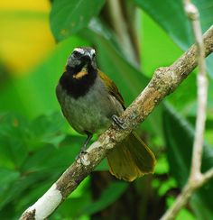 The Buff-throated Saltator (Saltator maximus) is a seedeating bird. Traditionally placed in the cardinal family (Cardinalidae), it actually seems to be closer to the tanagers (Thraupidae).[2] It breeds from southeastern Mexico to western Ecuador and northeastern Brazil.