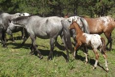 Nez Perce Horse - Akhal Teke/Appaloosa