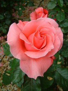 Kathryn McGredy: Hybrid Tea