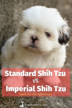 Shih Tzu and Imperial Shih Tzu are the basically the same dog breed, and both are cute small dogs that don't shed. Here you'll find what the differences are before going out and getting this small dog breed. #shihtzu #everythingshihtzu #smalldogs #imperialshihtzu Cutest Small Dog Breeds, Best Small Dogs, Cute Small Dogs, Cute Dogs Breeds, Dog Breeds Chart, Dog Breeds List, Shih Tzu Rescue, Shih Tzu Puppy, Yorkie Poo Puppies