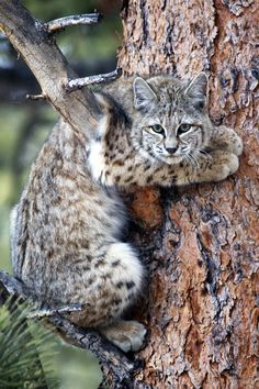 Bobcat in Ponderosa [Richard H. Hahn, Estes Park photographer]