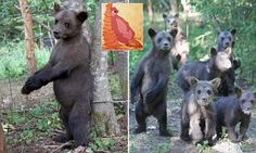 Bear cub with an itch is just like The Jungle Book's Baloo as he leans against a tree to scratch his back   Daily Mail Online