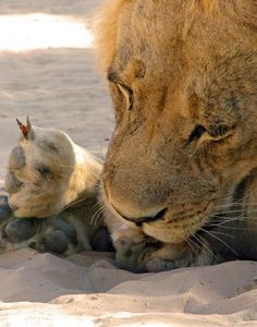 Kobus Swart was on a camping trip in Botswana when he spotted a gorgeous male lion cleaning himself in the sunlight. A butterfly began to flutter around the lion and — gently — alighted on his paw.