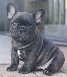 French Bulldog puppy. Its all about the tummy.