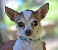 Chihuahuas-268 is an adoptable Chihuahua Dog in Georgetown, DE. The SPCA recently rescued a number of dogs from a neglectful home. Six small Chihuahuas were among them. These little guys are now avail...