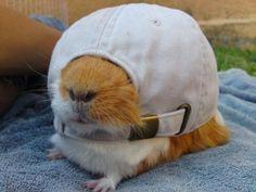 Guinea pig with cap