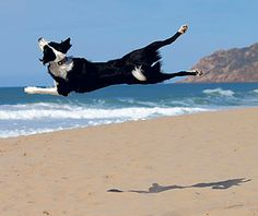 Our photo of the week - Pedro Pulido's Border #Collie (Gula) enjoying her time on the beach.