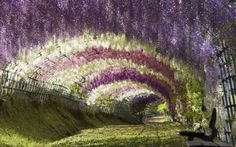 Wisteria Tunnel, Japan. This stunning flower walkway is the known as the Wisteria Tunnel, situated in the Kawachi Fuji Garden. It really looks so peaceful to take a stroll through. The Wisteria Tunnel, which is part of a breathtaking display of botanical delights that include zen gardens and a cherry blossom festival, is located at the Kawachi Fuji Gardens in Kitakyushu. Different types and colors of wisteria have been woven through a cylindrical lattice that during the blooming months of…
