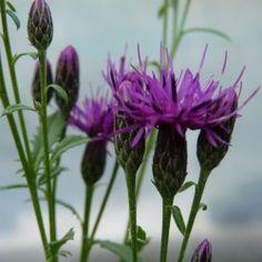 Sarrette des teinturiers Artemisia Annua, Artemisia Absinthium, Impression Textile, Achillea Millefolium, Colorants, Antiques, Rose, Couture, Photos
