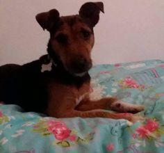 Alfie  3 year old male Lakeland Terrier cross Patterdale Terrier #cutedogs #cute #dogs #dog #pets #babblepets