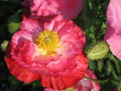 Silkkiunikko puutarhassa.