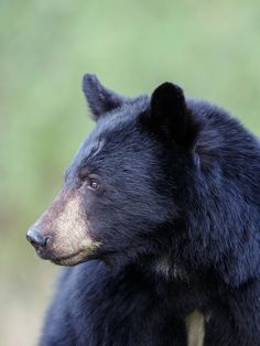 Beautiful black bear in the Great Smoky Mountains