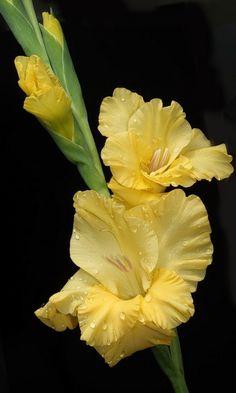 Gladiolus - plant bulbs for fresh cut gladiolus for my home..