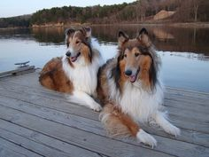 Collies by the lake