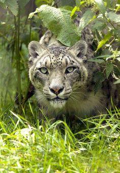 ~~Snow Leopard - peering out by wendysalisbury~~ - Pixdaus
