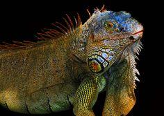 Green iguana (Roatan, Honduras) - Photo ©Michael Sheridan