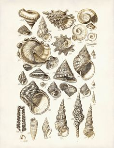 """Seashells Print or Poster 2  Nautical Art  by AdamsAleArtPrints, $12.00 for 8"""" by 12"""""""