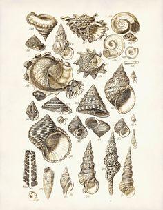 Seashells Print 2  Nautical Art Poster  Home by AdamsAleArtPrints, $8.00