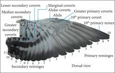Billedresultat for owl wing bending Owl Wings, Eagle Wings, Wing Anatomy, Flapping Bird, Pigeon Loft Design, Racing Pigeon Lofts, Pigeon Cage, Pigeon Pictures, Pigeon Breeds