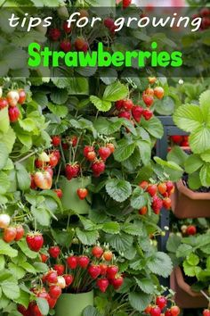 Flowers aren t the only plants you can grow in containers Growing strawberries in containers is easy and an fun way to interest and color to a small space Types Of Strawberries, Growing Strawberries In Containers, Growing Tomatoes In Containers, Potted Strawberry Plants, Strawberry Planters, Strawberry Garden, Everbearing Strawberries, Growing Bell Peppers, All About Plants