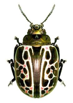 Bernard Durin — Beetles and other Insects Beetle Insect, Beetle Bug, Insect Art, Insect Crafts, Insect Wings, Cool Insects, Bugs And Insects, Beautiful Creatures, Animals Beautiful