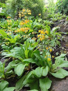 Etagen-Primel (Primula bulleyana)
