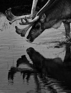 """Hirvi on komea ja rujolla tavalla kaunis. Sopivalla hetkellä ja sopivassa ympäristössä kohdatessa hirvi vie ajatukseni kauas menneisyyteen. Se kutsuu tekemään kuvaa. Uskon, että ihminen on ajatellut näin jo kauan. Kivikautisten kuvien taustalla on kuvan tekemisen halu ja tarve. Hirveä oli hyvä katsella ja ajatella. Siitä piti tehdä kuva."""" – Heikki Willamo Moose Art, Tea, Animals, Animales, Animaux, Animal, Animais, Teas"""