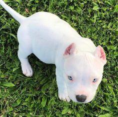 Pitbull Pets - Devu - Your Magazine White Pitbull Puppies, Pitbull Terrier Puppies, Pitbull Dog Puppy, Bull Terriers, All White Pitbull, Pit Bull Puppies, Puppy Pitbulls, Labrador Dogs, Beagle Puppies