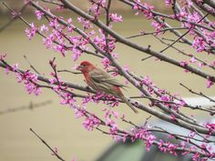 Male House Finch snacking on Redbud tree blossoms in my backyard. Flight Feathers, Photo Contest, Blossoms, Backyard, Bird, Country, House, Pageant Photography, Flowers