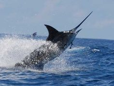 Blue Marlin I caught one in Mazatlan Mexico.