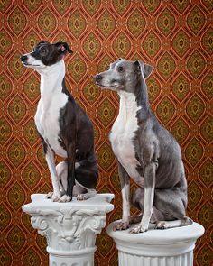 ~ Italian Greyhounds ~