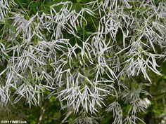 Fringetree (Chionanthus virginicus) flowers Fringe Tree, Dandelion, Herbs, Flowers, Plants, Dandelions, Florals, Herb, Plant