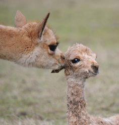 This is a mother vicuña and her new-born fawn.  Vicuãs are the smallest of the South American camelids (Camelids {Camels} actually originated in the western hemisphere, but only the South American camelids remain), and their fleece/fur is the softest of the alpaca or llama, all of which are domesticated. (The guanaco is the wild one from which came these three).  Vicuñas are no longer exported, but have been in the U.S, before the ban.  Alpacas and llamas are more numerous.