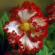 Crispa Marginata Begonia White-Red - no deer, full shade ok