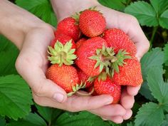 Berry, Strawberry, Hands, Leaves