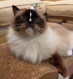 Ragdoll Cat Charlie 5th Birthday http://www.floppycats.com/happy-5th-birthday-charlie.html